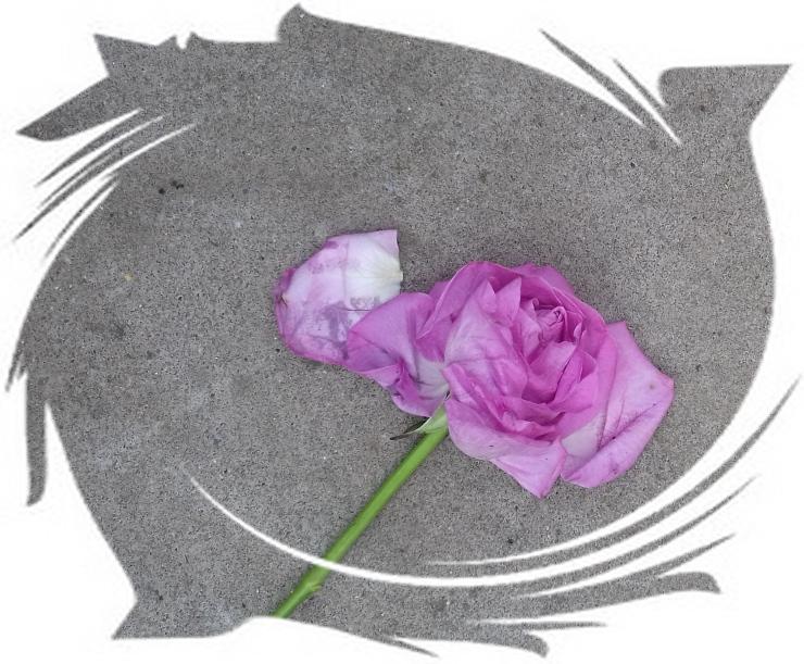 bruised rose